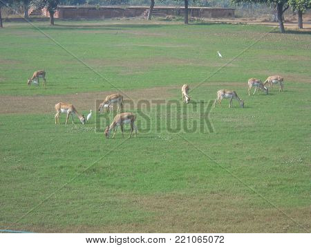 it is a species of deer found abundantly in north India