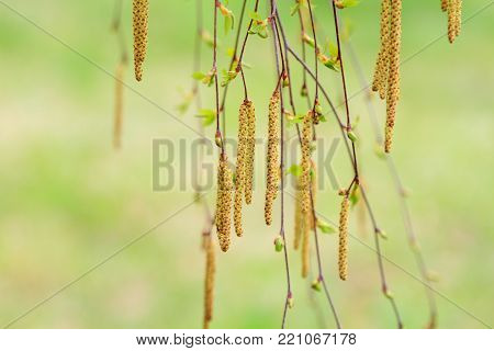 Spring birch tree in blossom with green lawn at the back.  Natural background of  birch  catkins  in green and yellow.