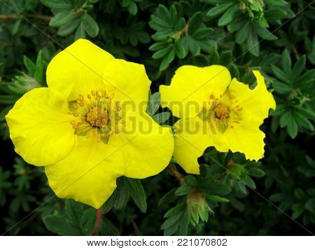 Two Yellow flowers grow from green leaves in garden