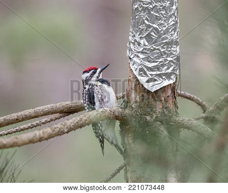 Yellow-bellied Sapsucker (Sphyrapicus varius) inspecting tin foil that has been wrapped around a tree to protect it.  Concepts could include humor, protection, overcoming obstacles, other.