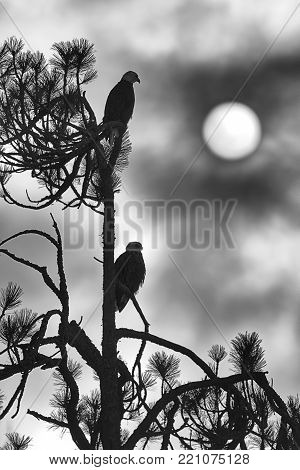 A silhouette B&W image of two eagles perched in a tree in Coeur d'Alene, Idaho.