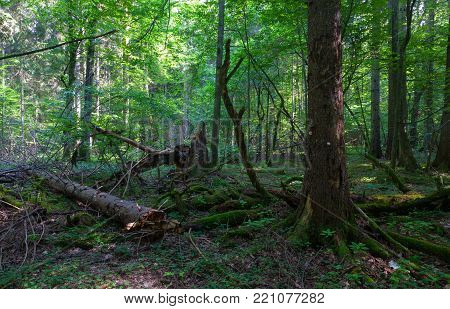 Natural deciduous stand t with lush hornbeam foliage and partly wind broken spruce tree in foreground, Bialowieza Forest, Poland, Europe