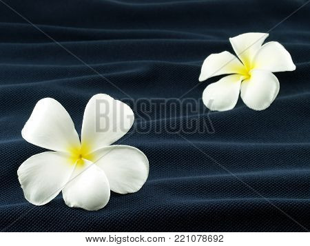 two white frangipani or plumeria flowers on wave of dark blue fabric, like flower that fall into the water