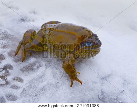 A big fat frog, a toad with blue eyes lies on the snow  and smiles.