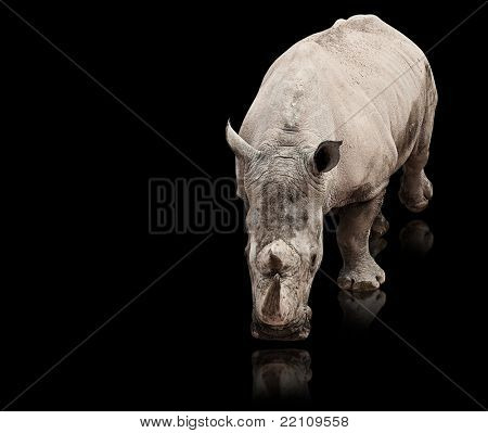 wild rhinoceros walking on a reflective surface poster