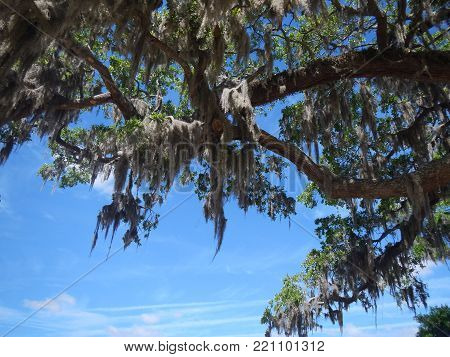 Bright Blue Sky and Spanish Moss.  Picture take on the East coast of GA, USA.