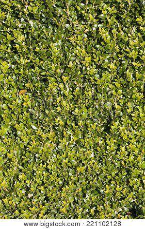 Neatly cut green evergreen privet hedge background