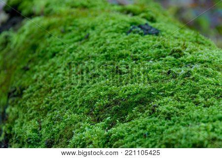 Reindeer Green Moss Wall Decoration Made Of Reindeer Lichen