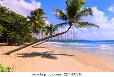 The palm trees on Caribbean beach, Martinique island, French West Indies.