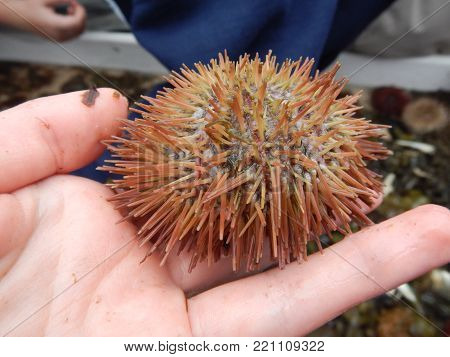 This is a beautiful sea urchin that might seem paler than usual given that it is a light tan shade underneath with darker maroon tips.
