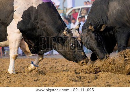 Bullfighting in al fujairah in United Arab Emirates