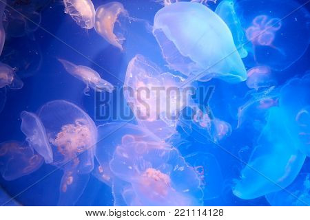 Many Translucent Jellyfish Or Medusa Or.nettle-fish In Blue Water