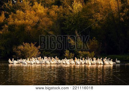 White Pelicans on the shoreline of Truman Lake located on the Lake of the Ozarks area of Missouri.  The are cleaning their feathers at Sunset.