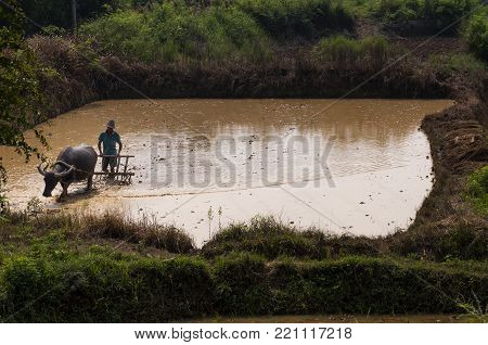 Yangshuo, China - August 2, 2012: Man plowing a rice paddy with a water buffalo in Yangshuo in China, Asia.