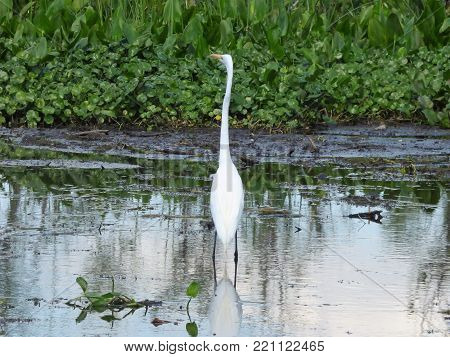A heron standing along the water's edge in the Florida swamps.