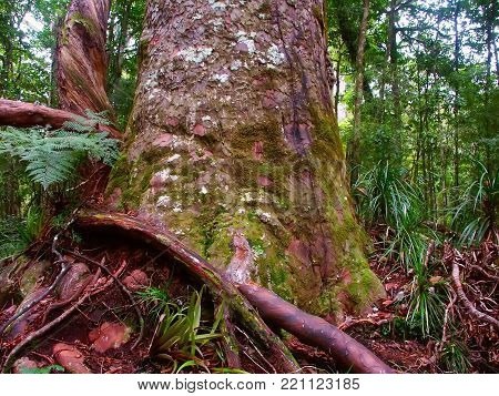 Base of a giant Kauri Tree (Agathis australis) in the Waipoua Forest of New Zealand