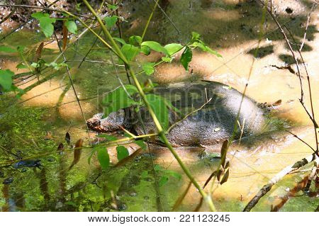 Snapping Turtle (Chelydra serpentina) at Monte Sano State Park northern Alabama