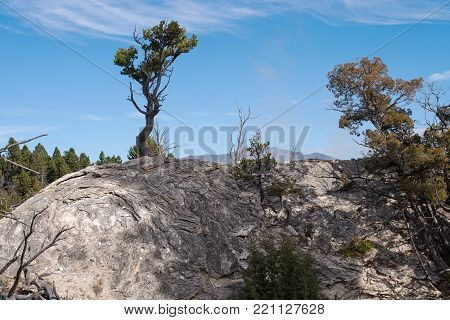 Pine Tree growing out of a formerly geothermal cone in Yellowstone National Park, Wyoming, USA