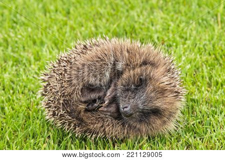 close up of baby hedgehog rolled up in ball on grass