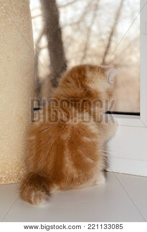The young red kitten sits and looks out of the window. The kitten turned a back to the viewer. Kitten of breed thrill-seeker. Age - one and a half months since birth. Indoors. Horizontal format. Without people. Color. Photo.