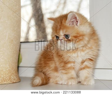 The young red kitten of breed the thrill-seeker sits at a window attentively looks. Indoors. Horizontal format. Without people. Color. Photo.