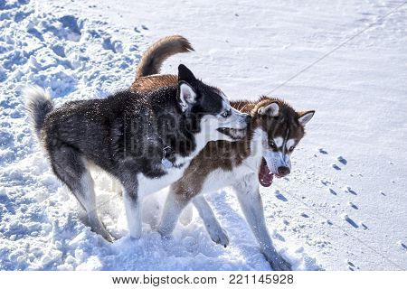 Siberian husky fun playing in the snow on a clear Sunny day. Fighting Dogs Baring fangs.