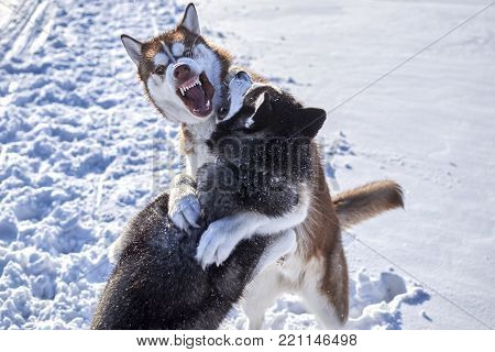 Siberian husky fun playing in the snow. Fighting Dogs Baring fangs.