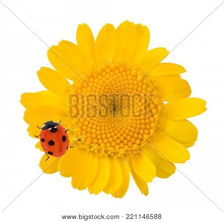 yellow flower with small red ladybug isolated on white background