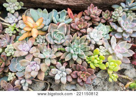 Miniature succulent cactus plants at the garden