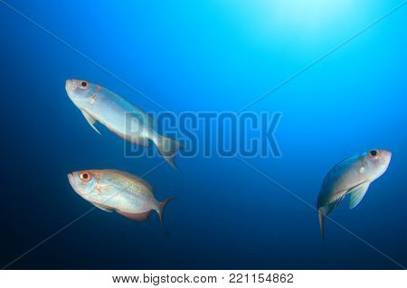 Crescent-tailed Bigeye fish