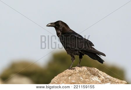 Brigh black plumage of a crow in the nature surrounded of yellow flowers