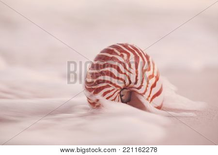 nautilus sea shell is touching by waves in rose gold sunset light, live action
