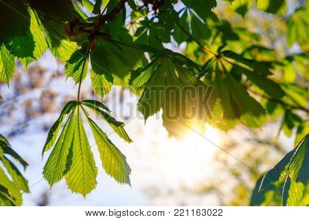 Light shining through the leaves of a horse chestnut or Aesculus hippocastanum.