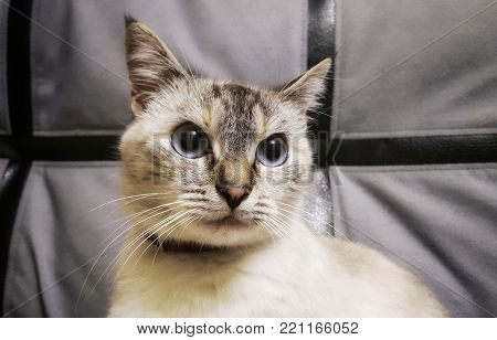 portrait of a cat. Siamese cat looks at me. Siamese cat with blue eyes