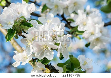 apple blossoms in spring on blue sky background.