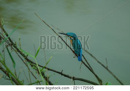 Common Kingfisher Perching On The Branch