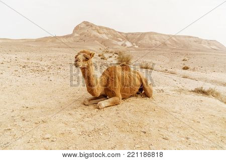 Picturesque desert dromedary camel lying on sand. Summer sahara travel and tourism. Blue sky and beautiful outdoor landscape on background
