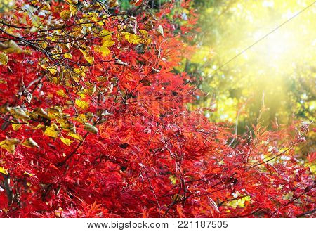 Bright Japanese maple or Acer palmatum branches on the sunny autumn garden