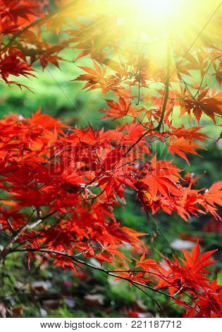 Bright red branches of Japanese maple or Acer palmatum and sunlight on the autumn garden