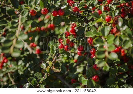 Vaccinium vitis-idaea - lingonberry, partridgeberry, or cowberry - a short evergreen shrub.