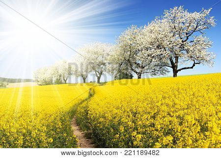 Rapeseed, canola or colza field with parhway, sun and alley of flowering cherry trees - Brassica Napus - rape seed is plant for green energy and oil industry - spring time view