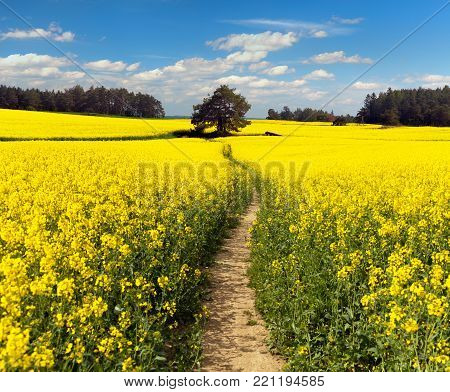 Field of rapeseed, canola or colza in Latin Brassica Napus with path way and beautiful cloudy sky, rape seed is plant for green energy and green industry, springtime golden flowering field