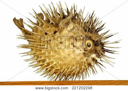 fish fugu object taxidermy isolated animals theme