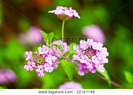 pink lantana are bloom