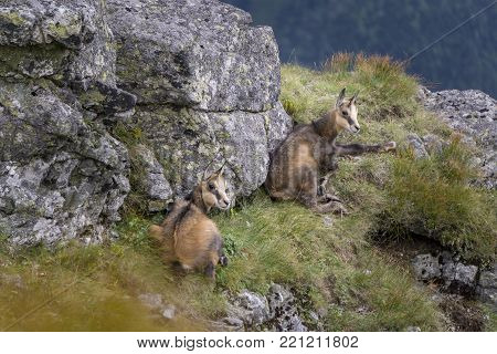 Two young mountain chamois in the wild. Tatra Mountains. Poland.