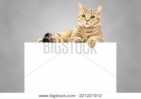 Portrait of a graceful cat Scottish Straight, lying on the banner, isolated on a gray background