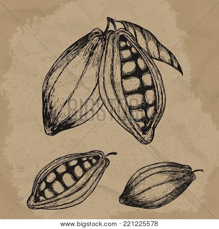 Cocoa beans hand drawn illustration. Chocolate cocoa beans. Vector illustration EPS10