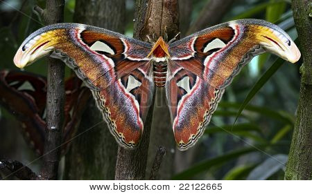 atlas moth (Attacus atlas) is a species of moth of the family Saturniidae ditrisio poster