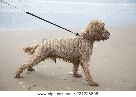 Excited young cockapoo dog on a sandy beach