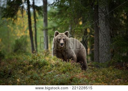 Ursus arctos. The brown bear is the largest predator in Europe. He lives in Europe, Asia and North America. Wildlife of Finland. Photographed in Finland-Karelia. Beautiful picture. From the life of the bears. Autumn nature of Finland.